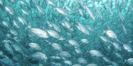 How are rising sea temperatures stunting fish growth?