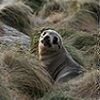 Kanowna Island fur seal