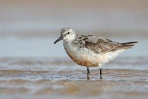 At risk: Red Knot shorebirds are experiencing 'globally unrivalled' warming rates at their Arctic breeding grounds.