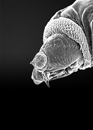 The humble maggot has an important role to play in treating wounds and fighting infections in a time of increased antibiotic resistance.