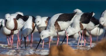 Secrets of desert waterbirds revealed