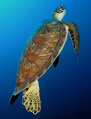 New research points to signs of recovery in global sea turtle populations thanks to long-term conservation efforts.