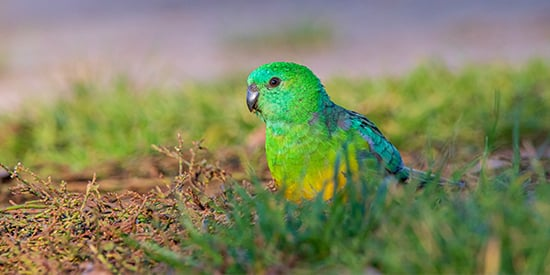 Red-rumped parrot (photo by Ryan Barnaby)