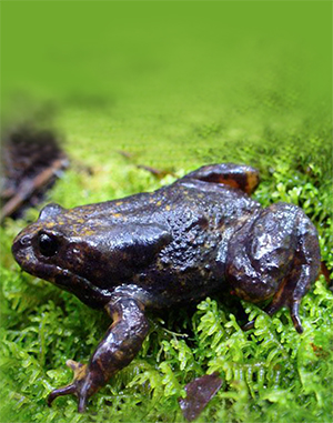 When the Baw Baw plateau was surveyed in the 1980s, researchers found 1000s of Baw Baw frogs in frost hollows across the plateau. Ten years later, only two per cent of this population remained.                              Photo courtesy, Damian Goodall, Zoos Victoria.
