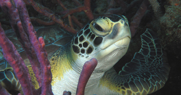 Success stories for sea turtles