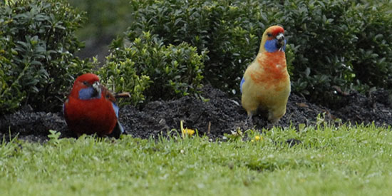 Deakin scientists first to show why rosellas vary in colour