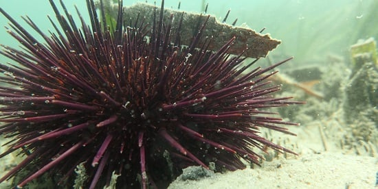New Deakin study finds sea urchins major culprits in CO2 emissions