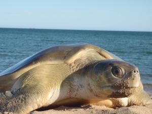 The flatback sea turtle.