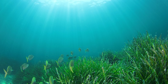 Just seagrass to us but a powerhouse for fish, Deakin study shows