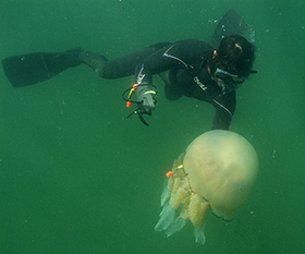 Tagged: Gower Coast Adventures capture a researcher tagging a jellyfish with a GPS off the coast of France.