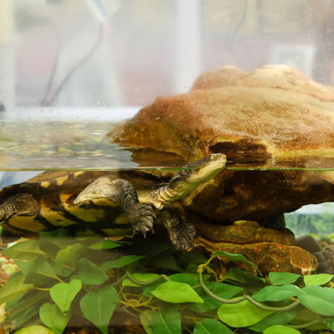 Turtle swimming in tank