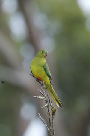 Survival in the balance - the orange-bellied parrot. (Photo: Barry Baker)